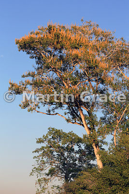 Spectacular yellow blossom of Vochysia divergens tree in early morning, River Cuiabá, Mato Grosso, Brazil