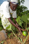 Kenyan lady inspecting watermelon growing in her garden.