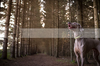 happy grey weimaraner dog looking skyward in pine tree forest