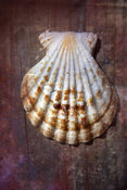 Sea Shell Gallery | Scallop Shell