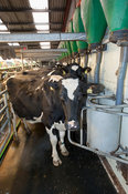 Holstein cattle in herringbone milking parlour system eating concentrates. Cumbria, UK.