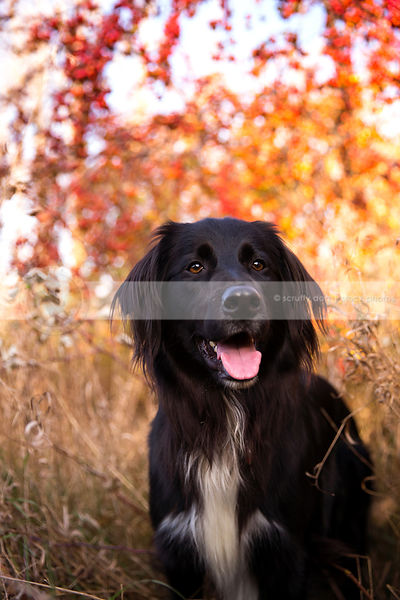 portrait of flatcoated retriever cross dog in autumn dried grasses