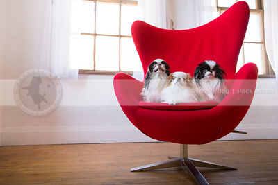 pack of three sweet japanese chin dogs staring from egg chair