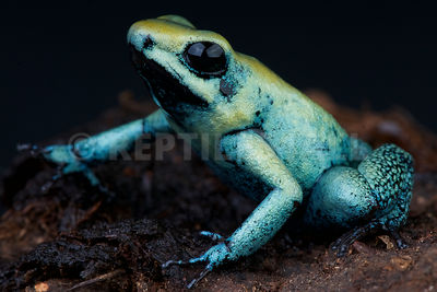 Mint dart frog (Phyllobates terribilis) photos