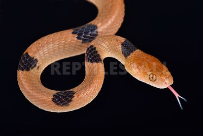 Cat eyed snake / Telescopus semiannulatus photos