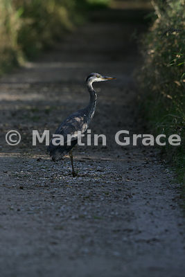 Grey Heron (Ardea cinerea) caught in late evening sunlight, Leighton Moss (RSPB), Carnforth, Lancashire, United Kingdom