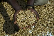 Close up of hands holding coffee beans Uganda Africa