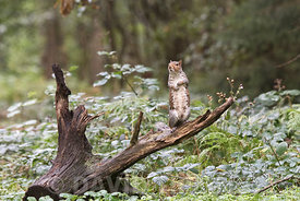 Grey Squirrel  Sciurus carolinensis in woodland Norfolk late summer
