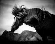 Wild horse of Iceland shaking his mane 2015 © Laurent Baheux