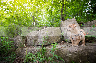 cute little lhasa apso dog standing on boulder in summer