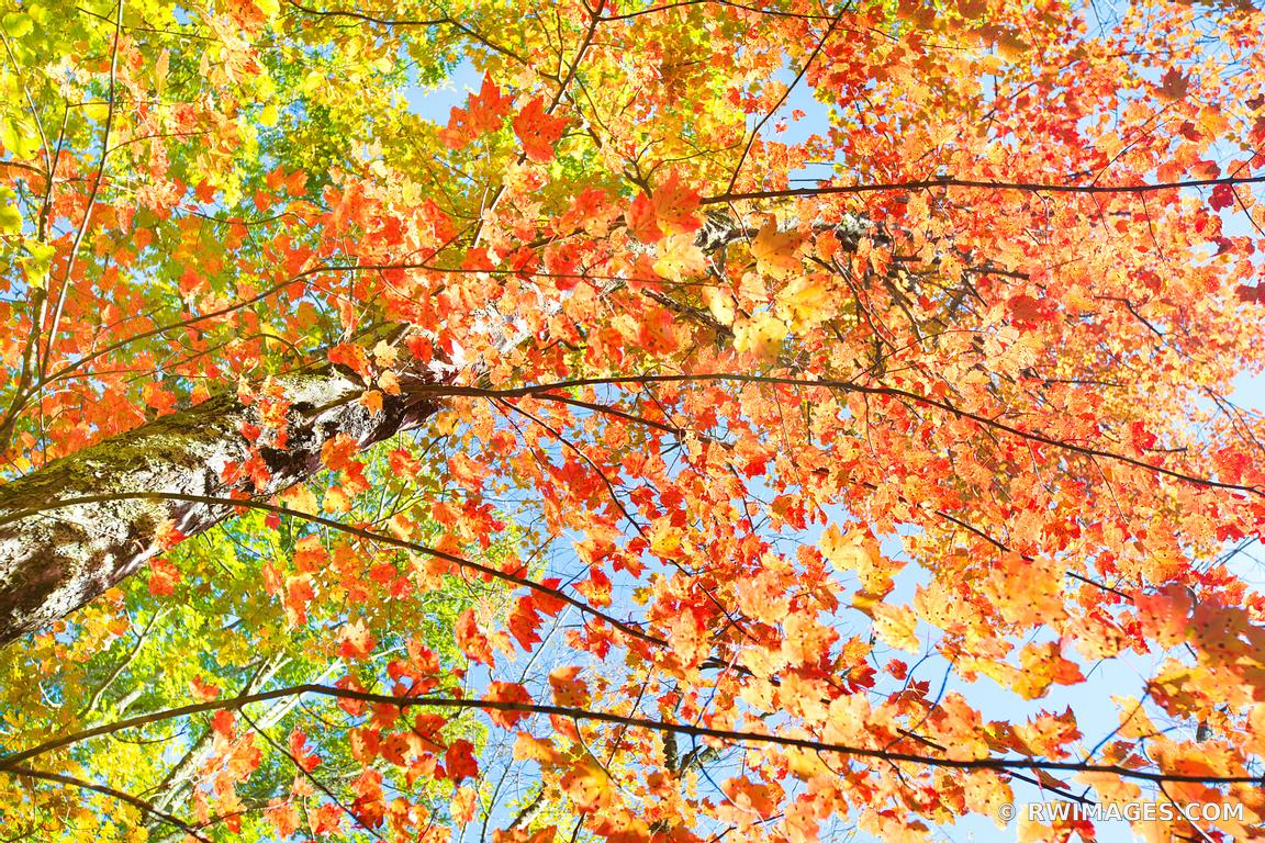 AUTUMN LEAVES SHENANDOAH NATIONAL PARK VIRGINIA COLOR