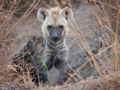 Hyena Cub, Kruger National Park, South Africa