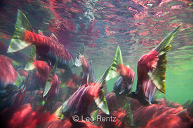 SOCKEYE SALMON 3: Swimming Against the Current