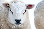 Texel sheep in snow.