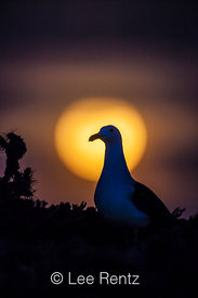 Western Gull Against Rising Full Moon on East Anacapa Island