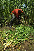 Lusi Community Orphans project, cutting down Napier grass to feed to livestock Kenya