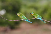 Kingfishers/Bee-eaters photos