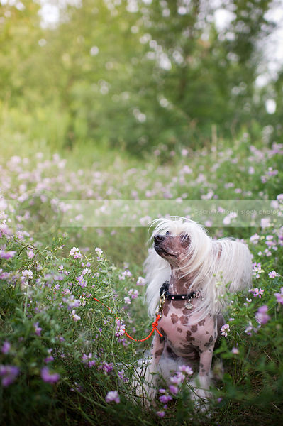 chinese crested freckled small dog sitting in meadow of flowers