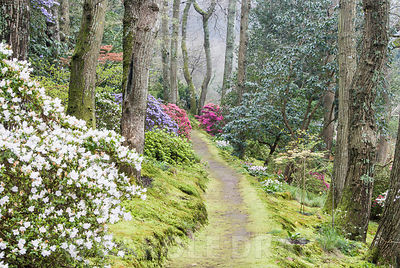Woodland walk below mature oaks, carpeted with emerald moss, framed by young acers and evergreen Kurume azaleas including forms of Rhododendron obtusum (magenta), R. x multiflorum, lavender, and R. ciliatum, pink tinged white. Beside the path are some of the National Collection of erythroniums, dogs tooth violets. Greencombe Garden, Porlock, Somerset, UK