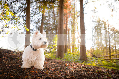 westhighland terrier standing on sunlit slope