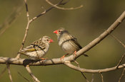 Red-billed quelea (Quelea quelea), Bergville, South Africa