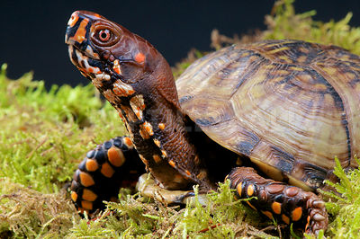 Common box turtle (Terrapene carolina) photos