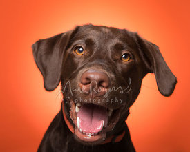 Close-up Chocolate Labrador Against Orange Studio Background