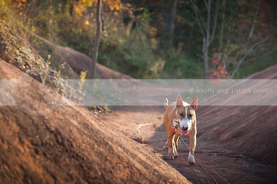 tan and white dog coming to camera trotting alone in red clay valley