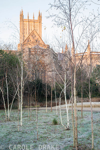 Early morning sun colours Wells Cathedral gold seen from a glade of silver birches in the Garden of Reflection in the Bishop's Palace garden in November