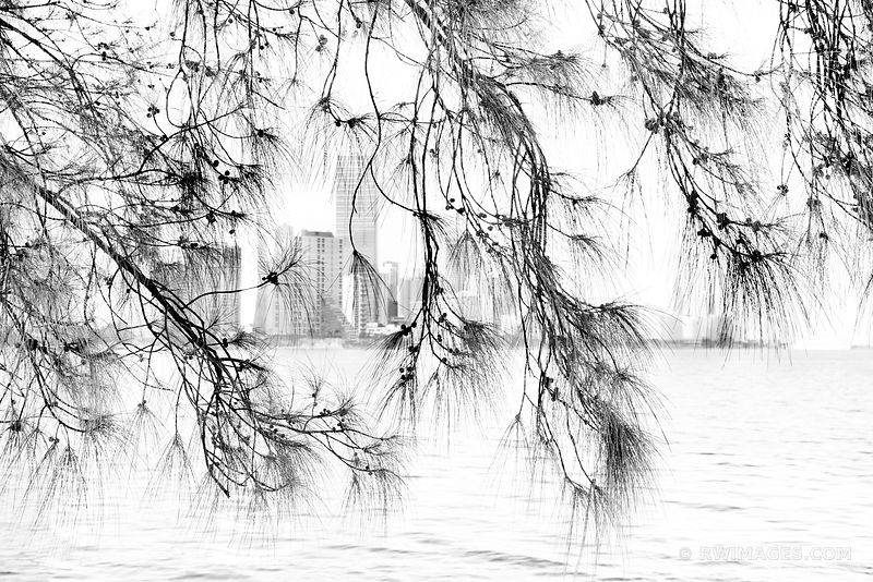 MIAMI SKYLINE ACROSS MIAMI SOUTH CHANNEL VIEWED THROUGH PINE TREE BRANCHES BLACK AND WHITE