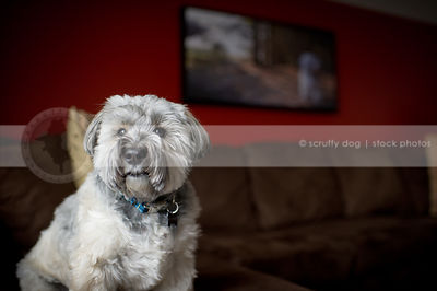 portrait of silver cross breed dog on sofa at home indoors