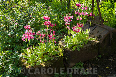 Candelabra primulas in stone troughs. Windy Hall, Windermere, Cumbria, UK