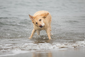 Yellow Lab with Pink Nose Shaking Dry in Surf