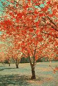 Landscape of Cherry Blossoms | Modern Color Treatment