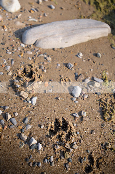 stones and pawprints in sand on beach