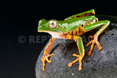 Orange legged leaf frog  (Phyllomedusa hypochondrialis) photos