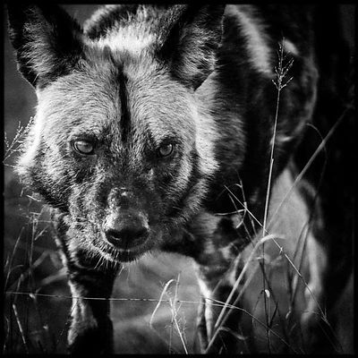0796-Wild_dog_portrait_Botswana_2009_Laurent_Baheux