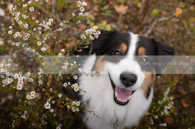 happy tricolored longhaired dog staring up from natural setting