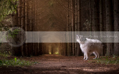 shaggy dog barking howling standing in tunnel of pine trees