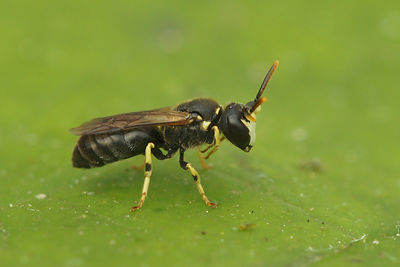 Hylaeus annularis - Brilmaskerbij photos
