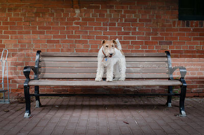 wirehaired fox terrier standing on park bench by brick wall