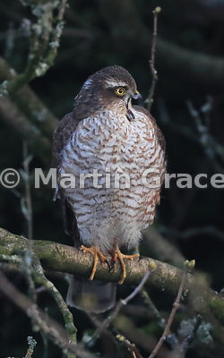 Juvenile male Eurasian Sparrowhawk (Accipiter nisus) yawning, Lake District National Park, Cumbria, England