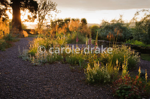 Gravel garden with Stipa gigantea catching the early morning sun, with Stachys byzantina, foxgloves antirrhinums, evening primrose and Phlomis russeliana. Fowberry Mains Farmhouse, Wooler, Northumberland, UK