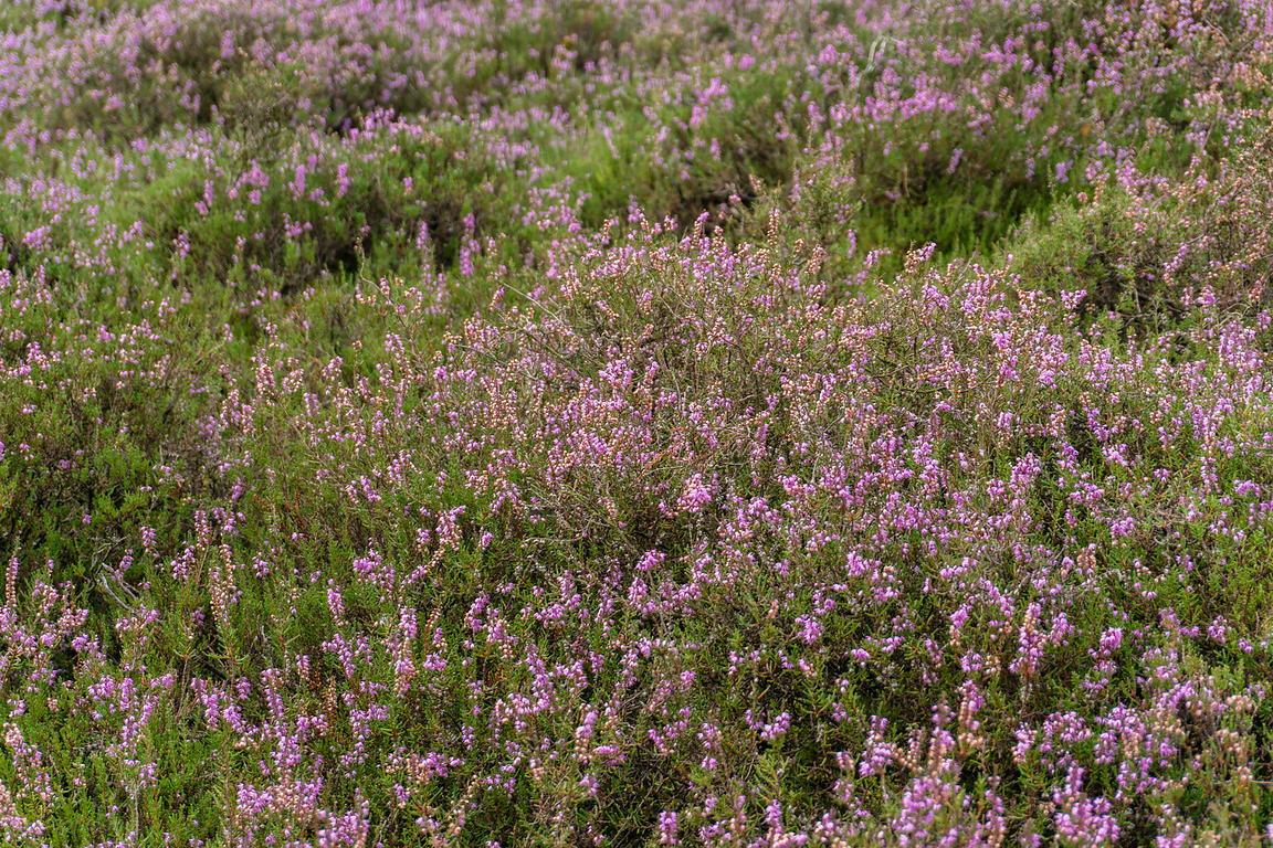 A carpet of Common Heather flowers