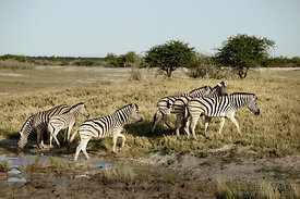 Zebras in savanna