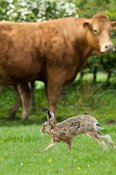 Brown Hare in herd of cattle. Lepus capensis.