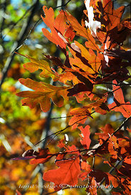Oak_leaves_in_autumn