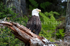 Bald Eagle Sitting on a Tree Snag in the Forest