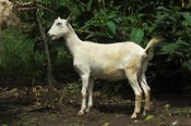 Side view of a white dairy goat, Kampala, Uganda Africa