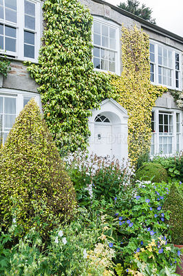 The Vean Garden is predominantly white, blue and gold, with clipped box and golden privet surrounded by lush perennials such as hardy geraniums, campanulas, Alchemilla mollis and ligularias. Bosvigo, Truro, Cornwall, UK